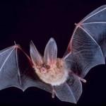 ゴシック生物「コウモリ」の謎!ホントに人間の血を吸うの?