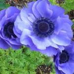 アネモネというゴスで優美なお花の花言葉が怖かった(笑)