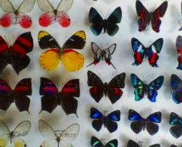 ゴシックな蝶の標本。蝶マニアのお部屋拝見!展翅って大変です
